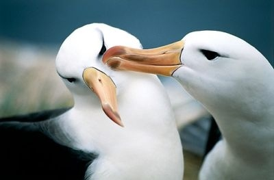 Romantic stories exist even in nature- Albatros.jpg