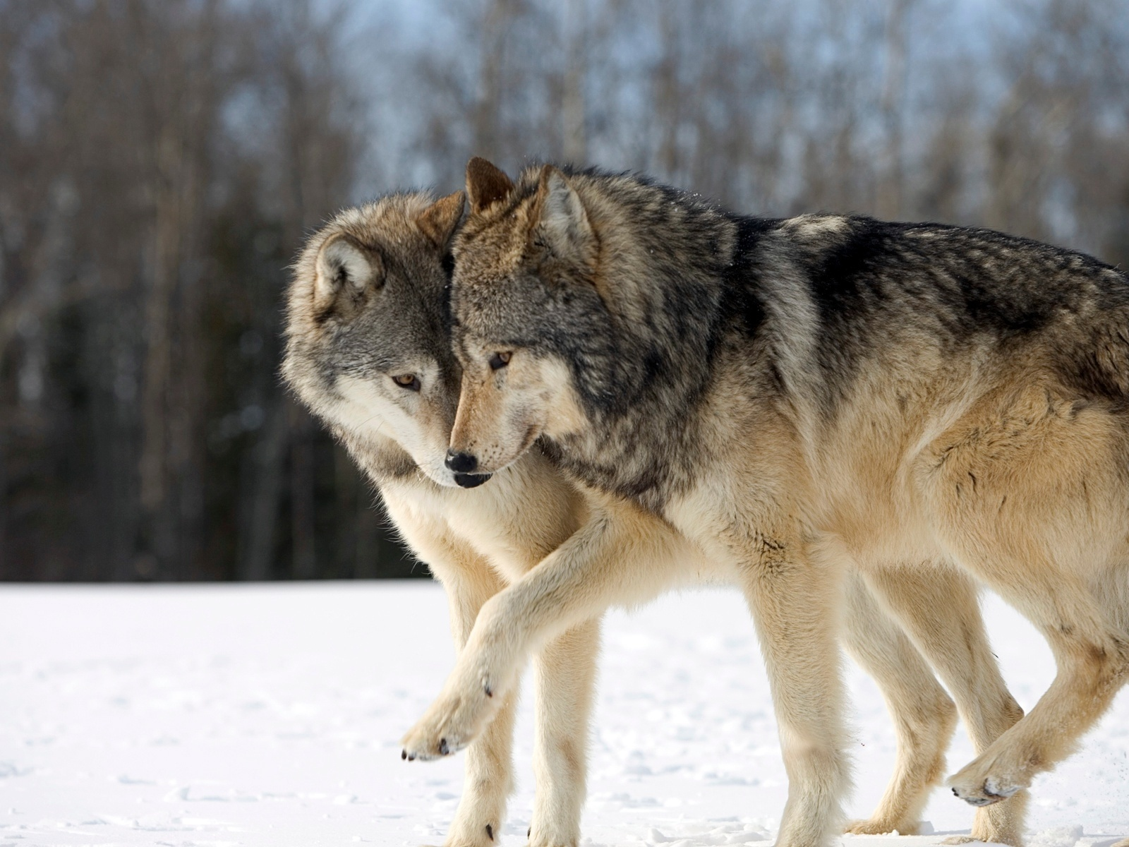 Romantic stories exist even in nature- Grey Wolf.jpg
