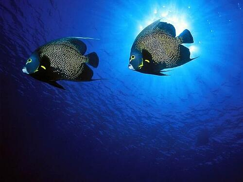 Romantic stories exist even in nature-French Angel Fish.jpg