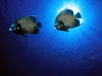 Historias romanticas en la naturaleza-pez angel frances.jpg