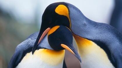Historias romanticas en la naturaleza-pingüinos.jpg